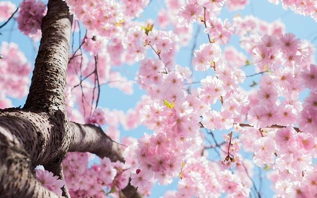Tree with blossom